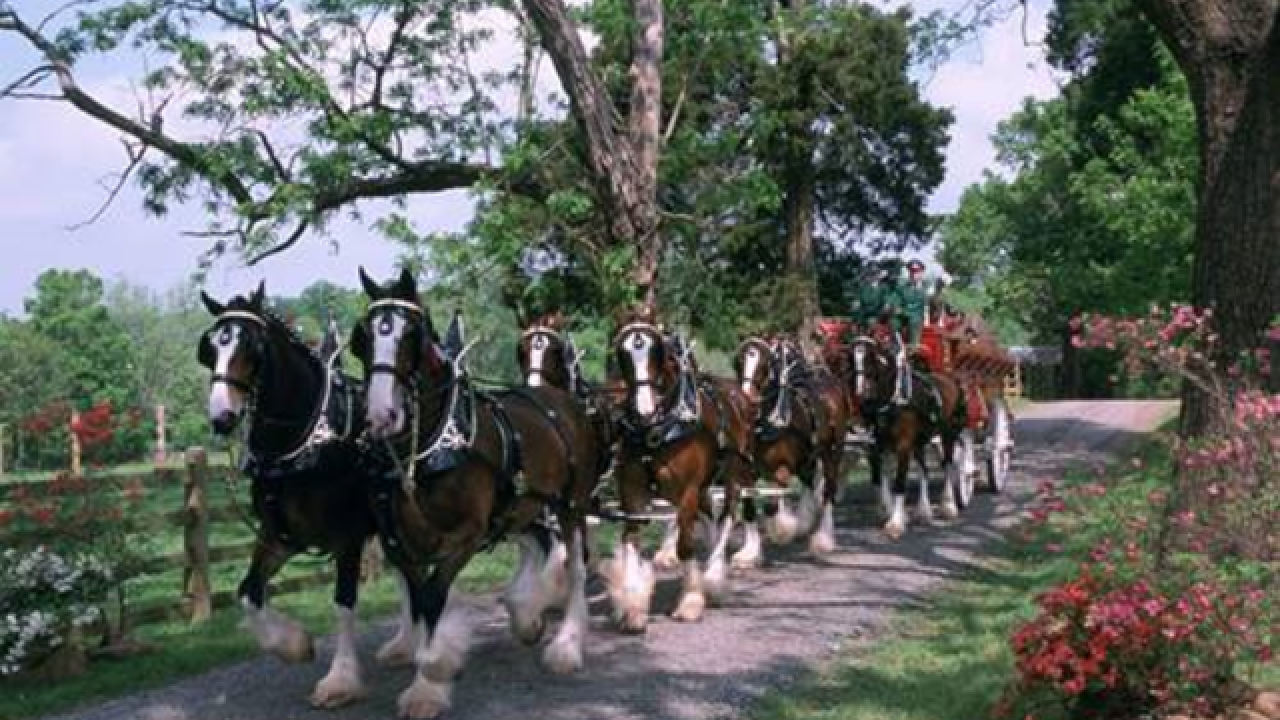 Budweiser Clydesdales coming to Lewiston