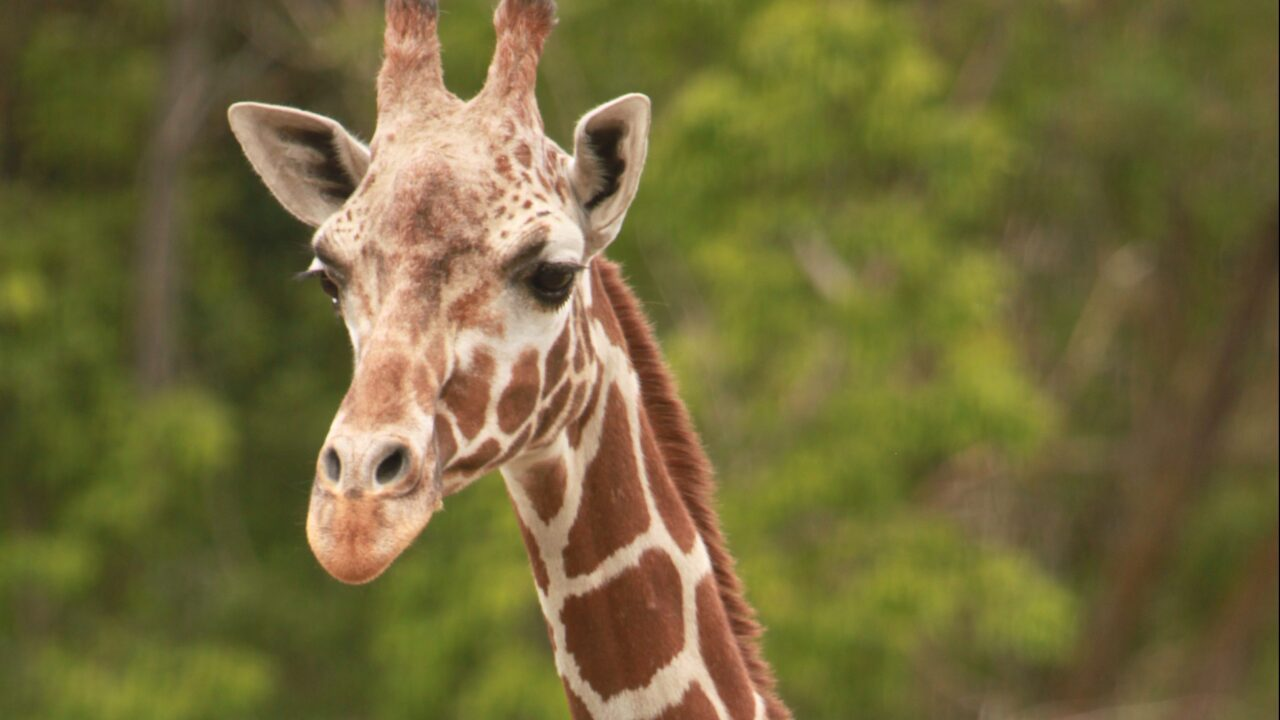 Baby giraffe dies at Hogle Zoo