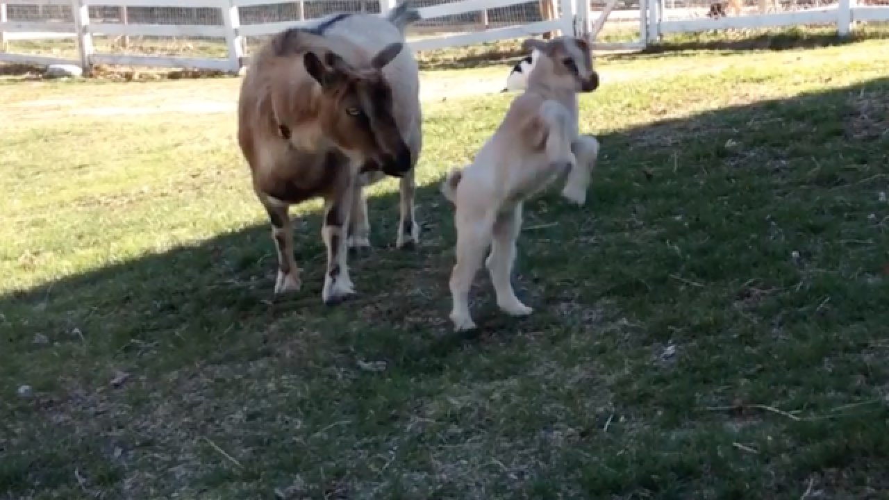 WATCH: Baby goat leaps into first steps