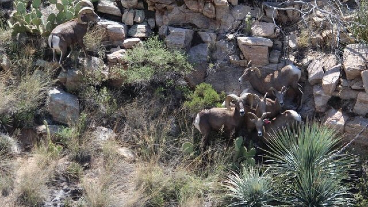 Game and Fish spots 30 Bighorn sheep in Catalina mountains