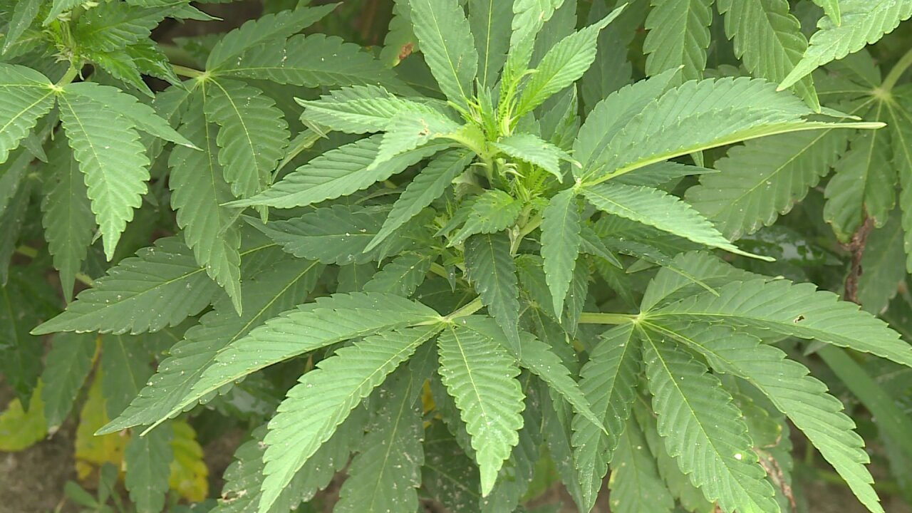 🌿Virginia farmers warn thieves hemp 'is not going to do what youthink'