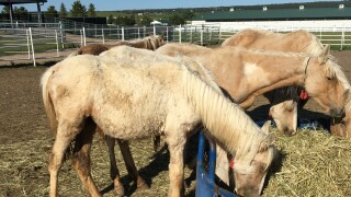 emaciated horse taken to dumb friends league june 10 2019.JPG