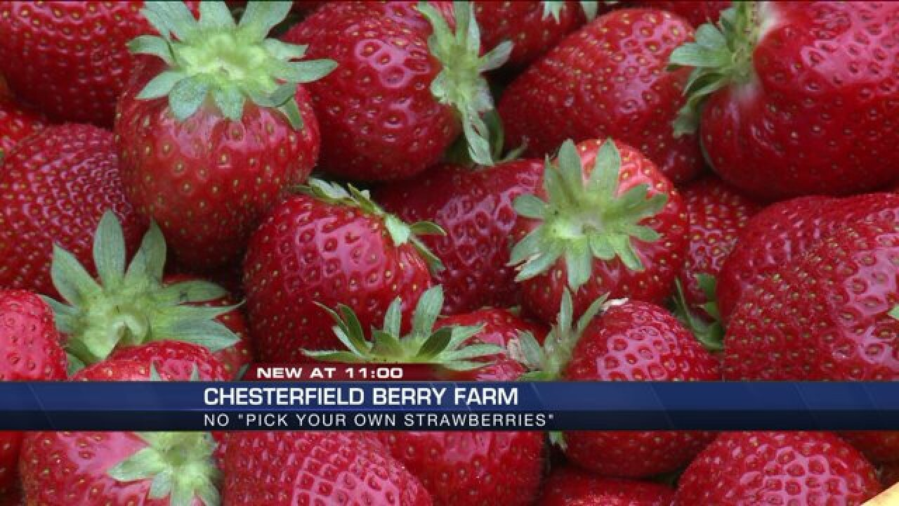 Farm changes strawberry picking policy after abnormal weatherconditions