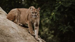 Boy attacked by mountain lion in Bailey; CPW searching surrounding areas