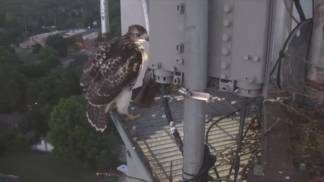 LIVE: Red-tailed hawk nesting on KJRH tower