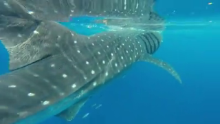 Hillsborough County man grabs GoPro, swims with whale shark off the coast of Fort De Soto.