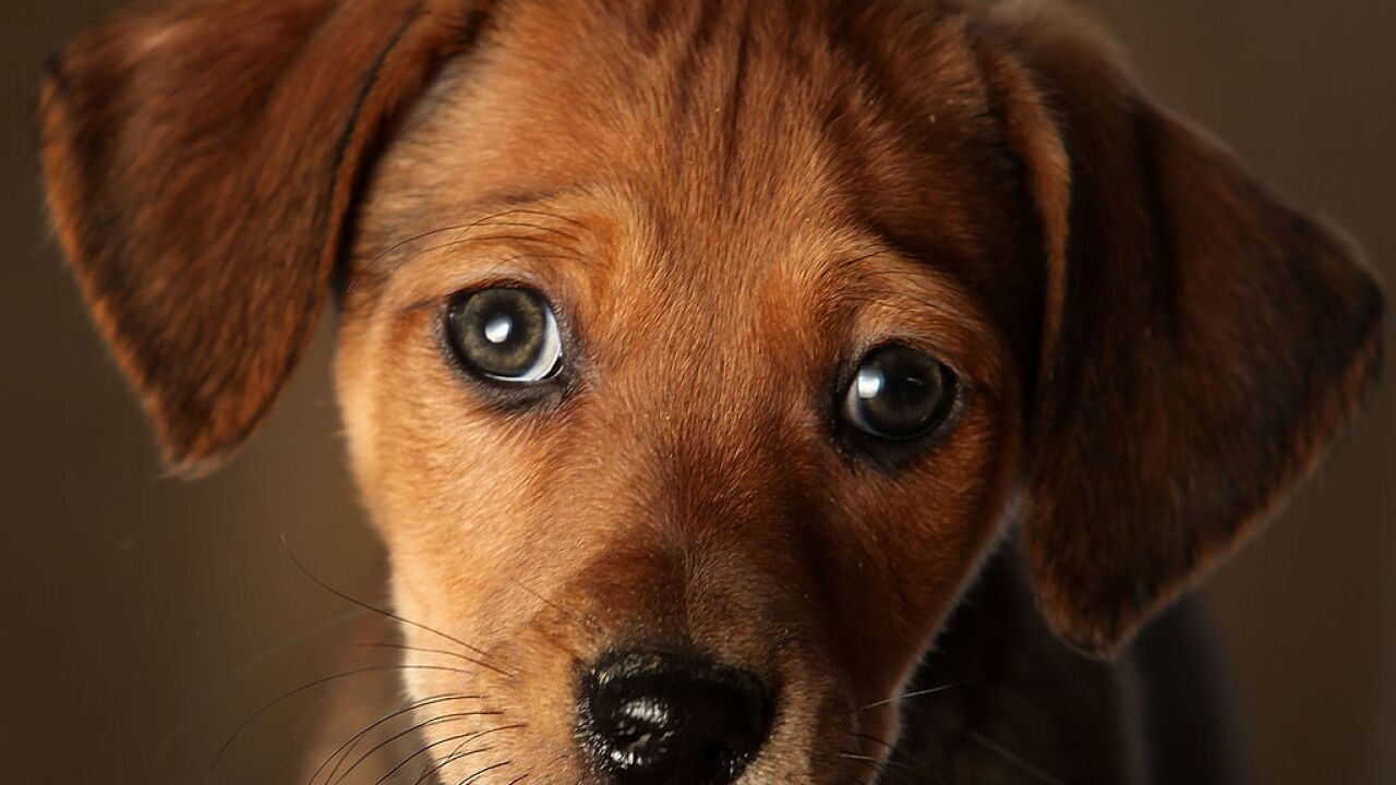 'Puppy dog eyes' have evolved to appeal to humans
