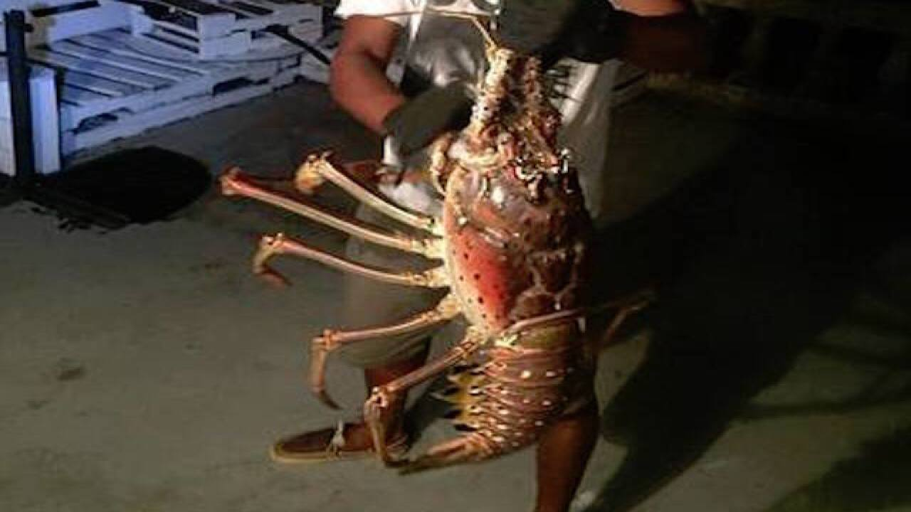 Charter boat catches, releases giant lobster