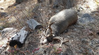 FWP seeking tips after mule deer found dead near Corvallis