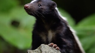 Connecticut teen wakes to find skunk in bed with him