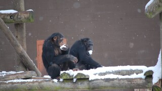 Photos: CUTE ALERT: Metro Richmond Zoo chimps frolic and makesnowballs