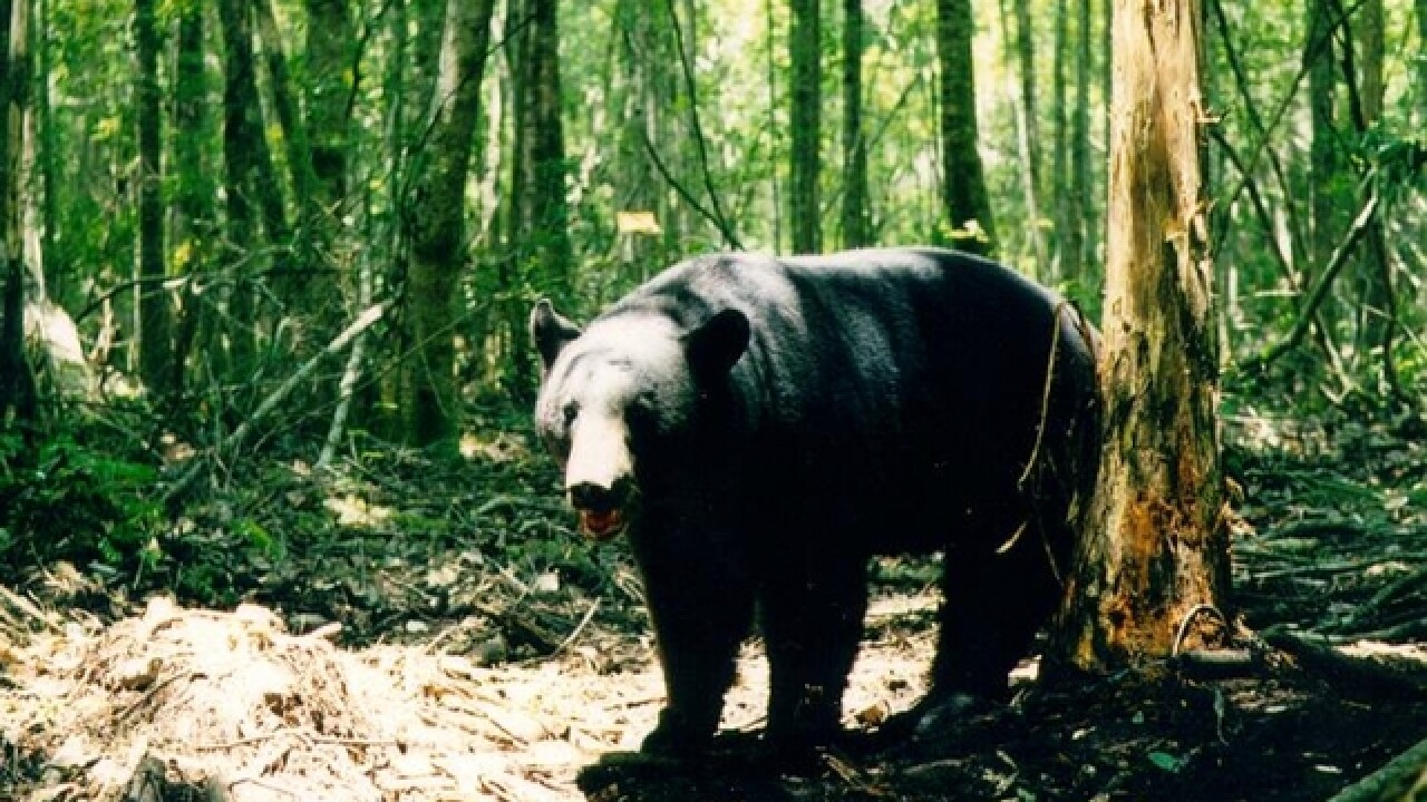 Officials say Pedals the bipedal bear is likely dead