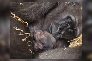 mom-baby-gorilla.jpg