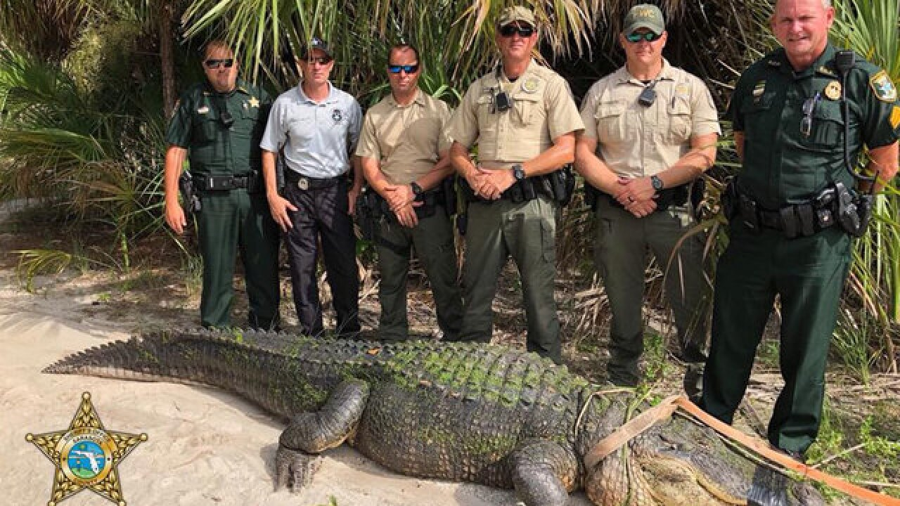 13-foot alligator captured in Sarasota County