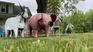 The pig and goats finally meet