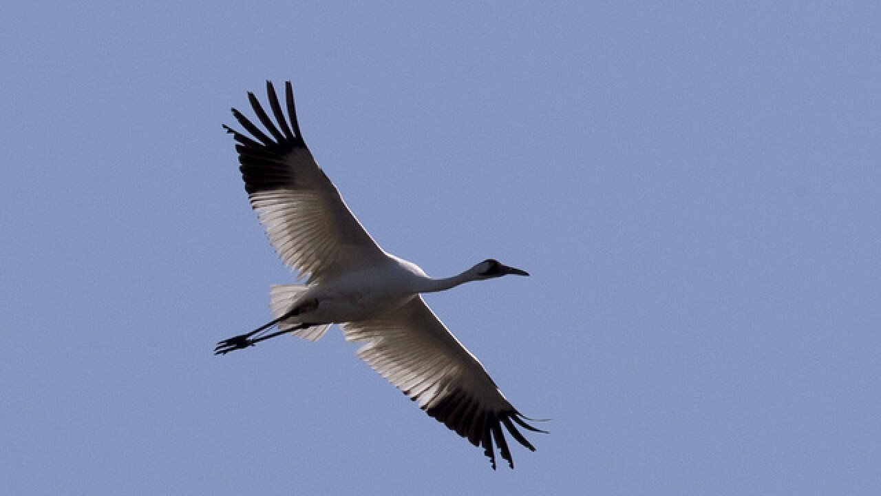 Endangered whooping cranes to fly through Oklahoma