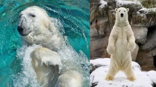 Nikita Polar Bear.jpg