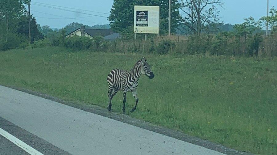 zebraescape.jpg