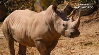 White Rhino at the Maryland Zoo