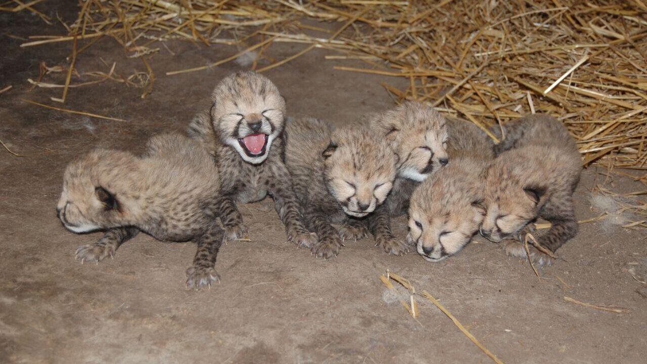 Cheetah cub dies at Metro Richmond Zoo days aftercheck-up