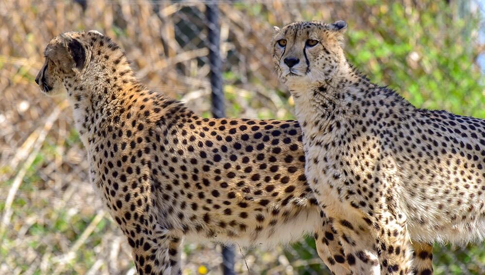 Zoo_Cheetah_06.jpg