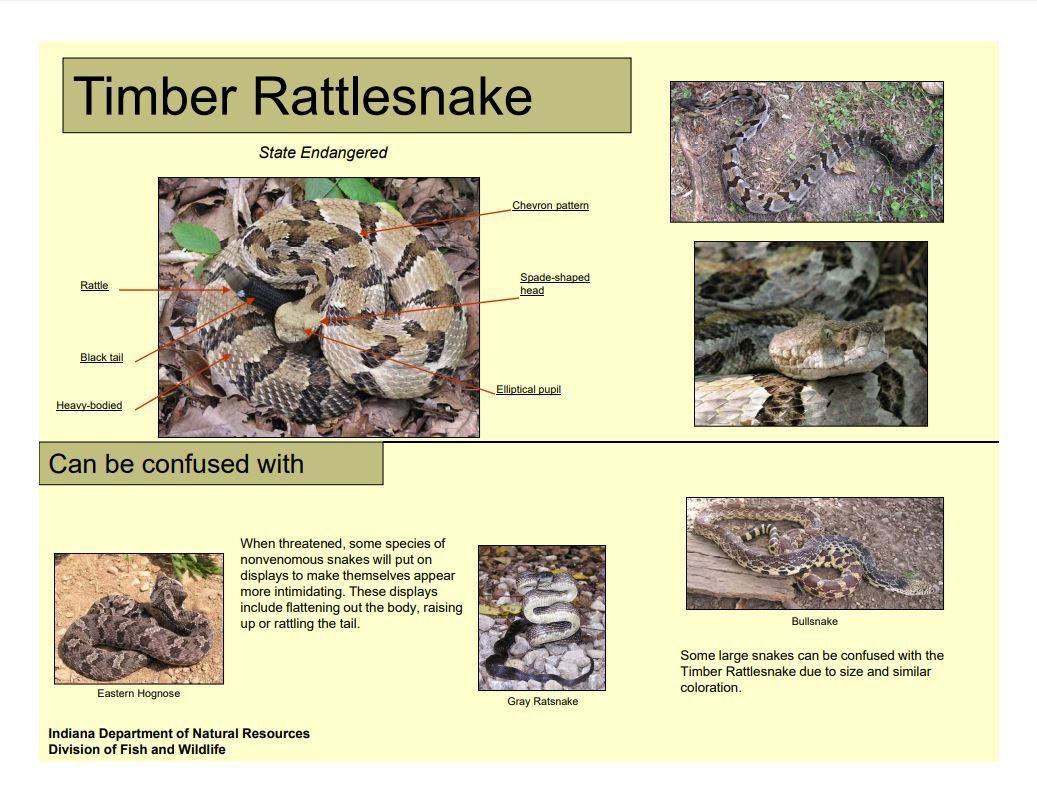 Timber rattle snake guide.JPG