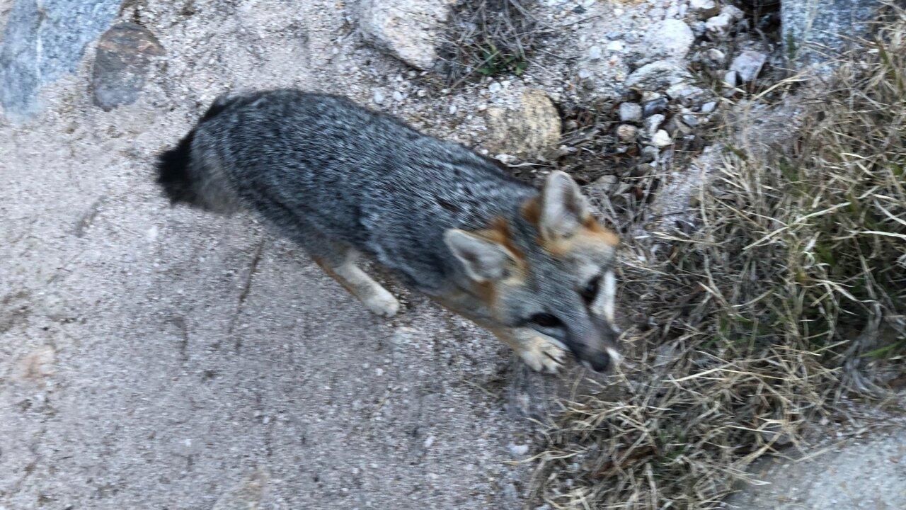 Fox in Sabino Canyon