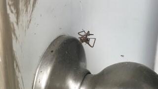 Brown Recluse Spiders 1.jpg