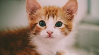 kitten generic