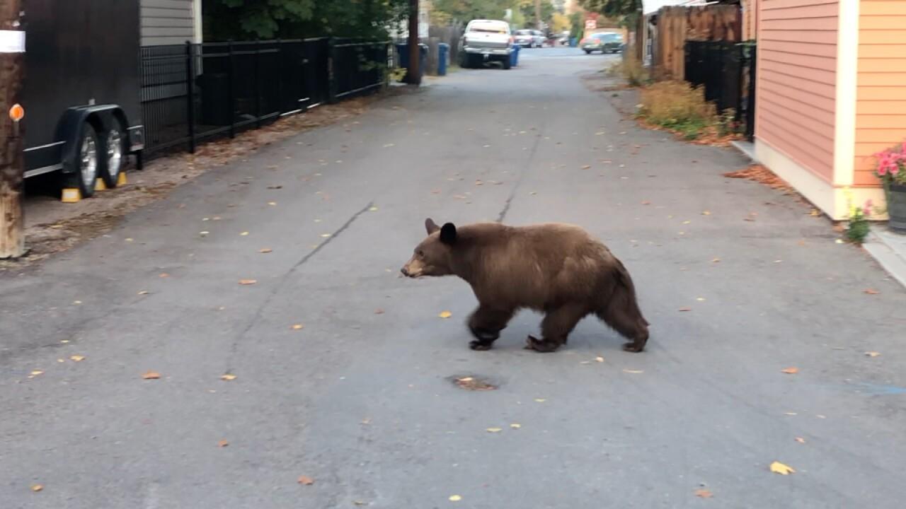Bear seen near Sacajawea Park in Missoula.jpg
