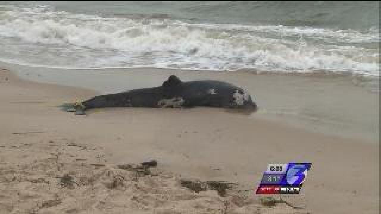 Update: 13 more dead dolphins wash up in Virginia; Total now at 100 for the year