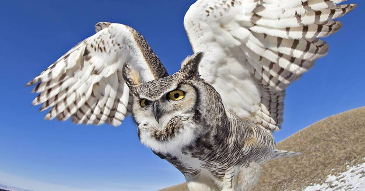 Wild Birds Unlimited to host Bu, the Great Horned Owl