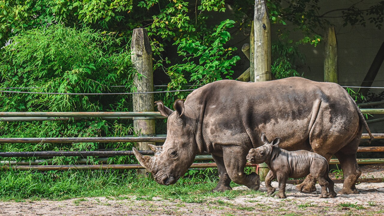 Mosi the Southern white rhino