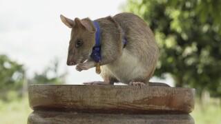 Cambodia Rat Hero Retires