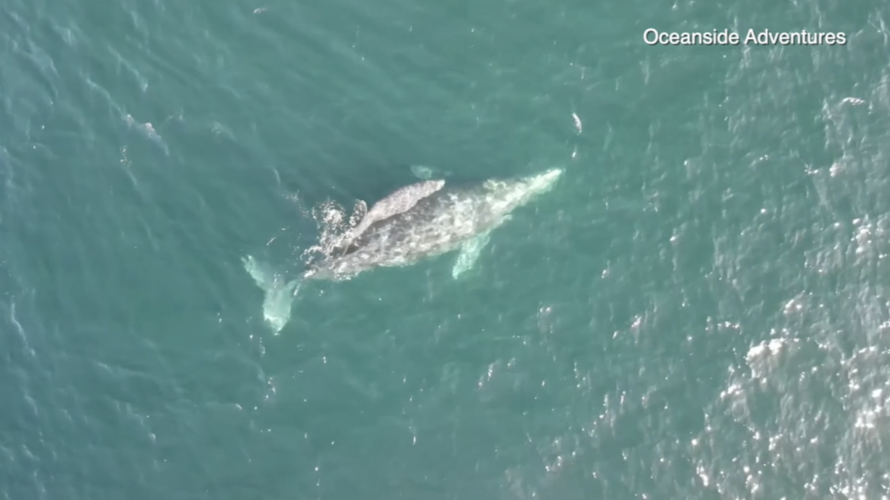 gray whale mom calf off oceanside.png