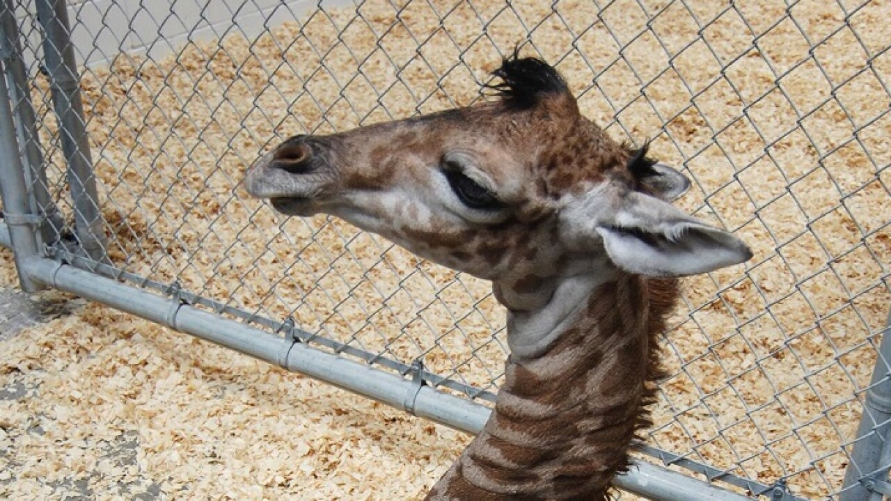 Giraffe born at Virginia Zoo