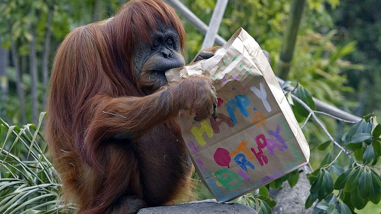 Zoo Celebrates Orangutan's Second Birthday