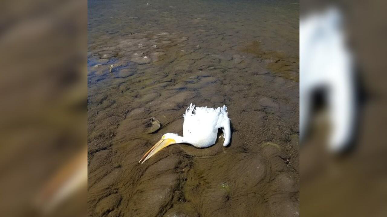 dead pelican jeff river.jpg