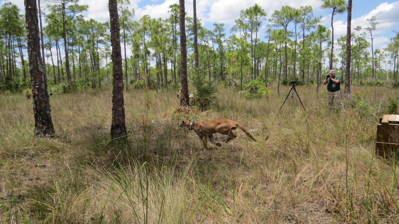 PHOTOS: Florida panther released in Big Cypress