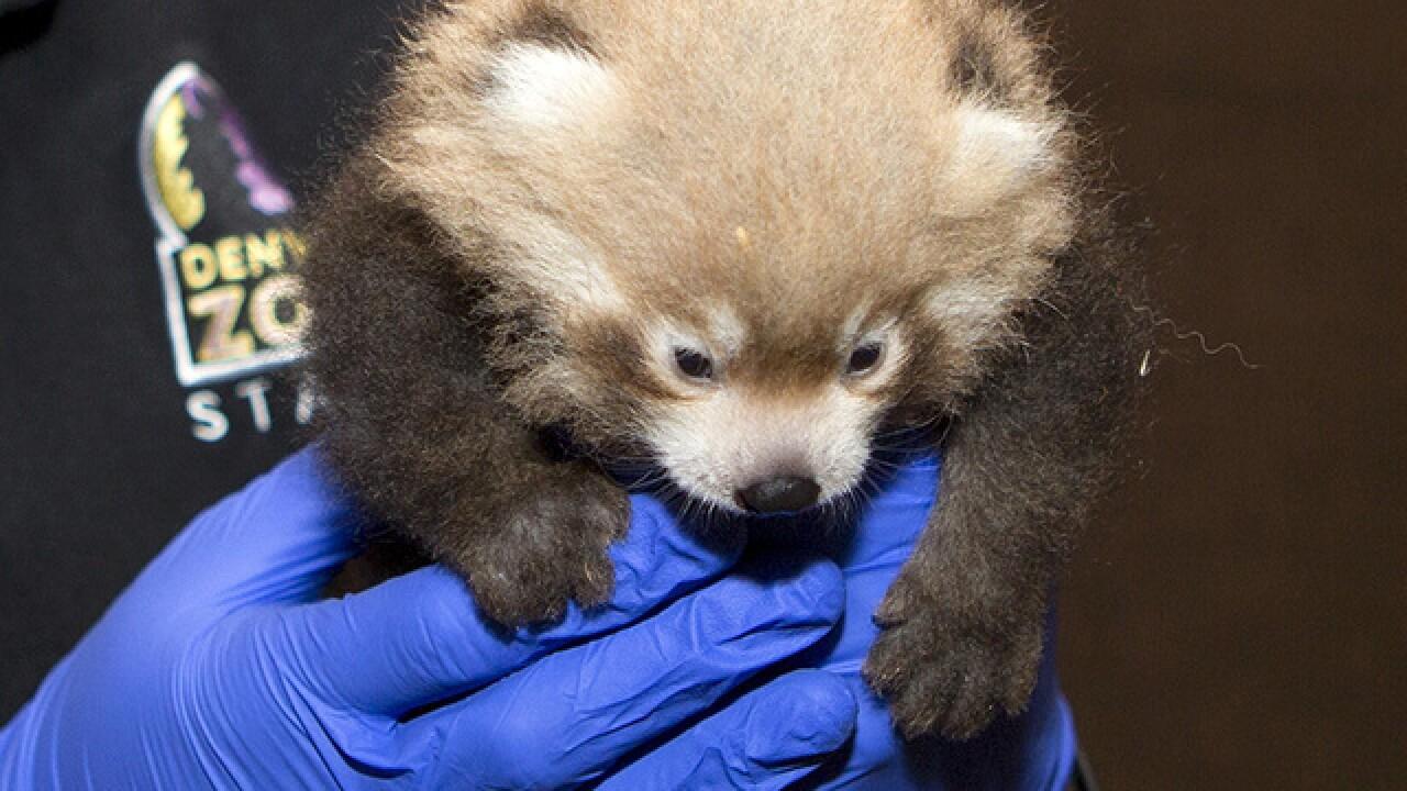Cute alert: 2 red panda cubs born at Denver Zoo
