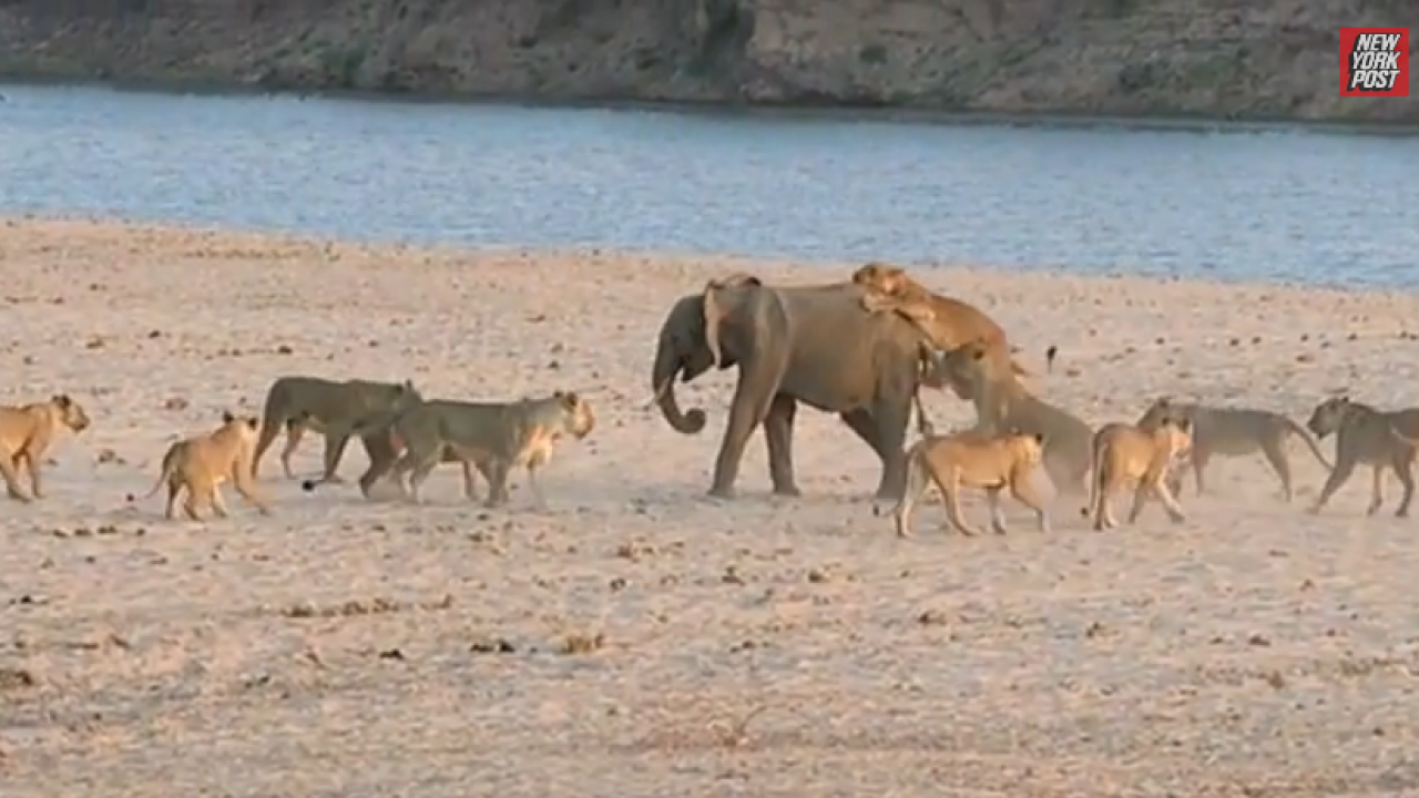Watch this video of a baby elephant fending off the attack of 14 lions