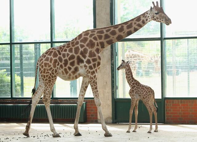 Photos: Baby giraffes around the world