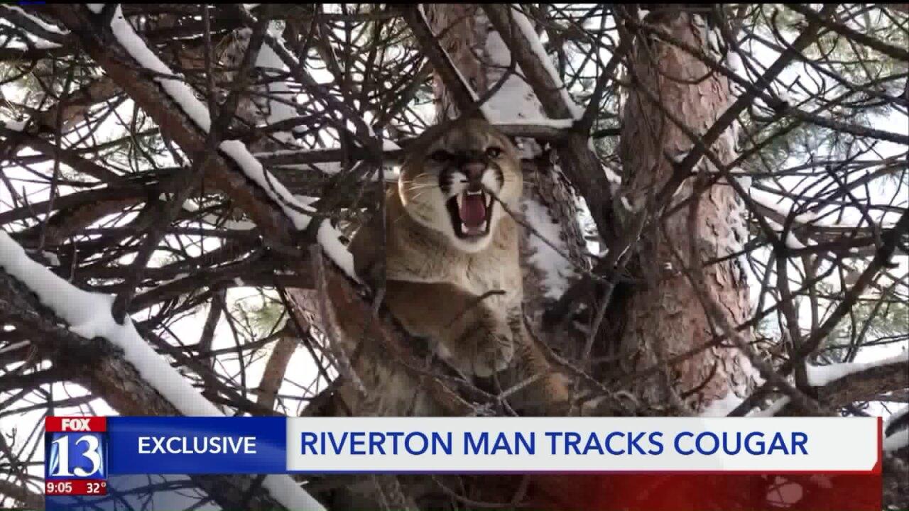Cougar bringing fear to Utah neighborhood caught, thanks to highly skilledresident