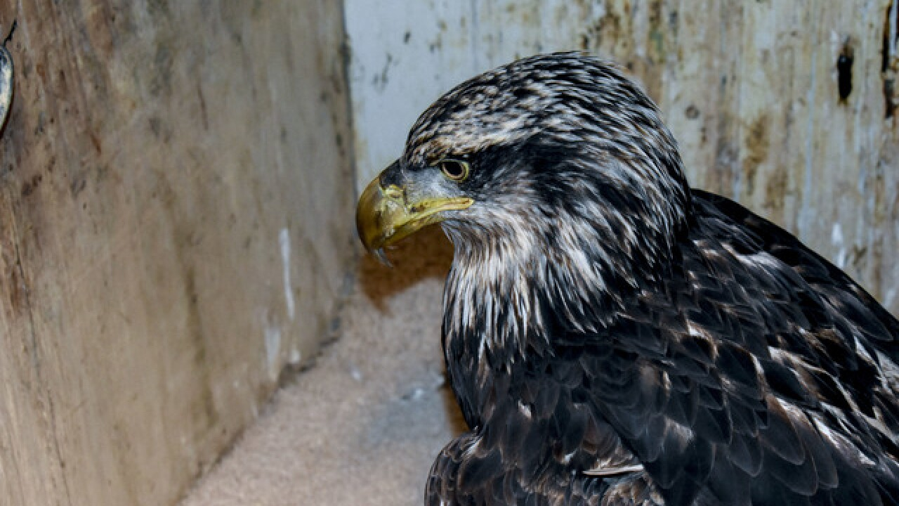 Bald eagles dying from lead poisoning