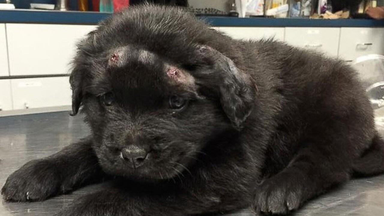 6-week-old puppy shot with 18 BB gun pellets