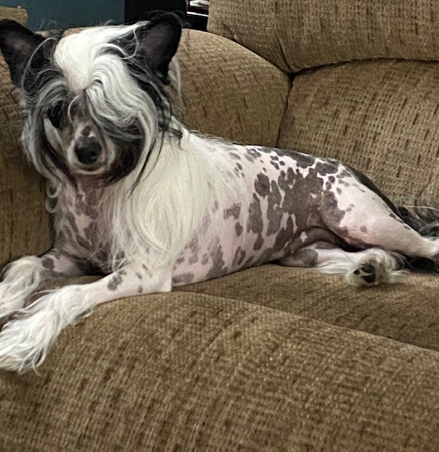 This is Lolly. She is a Chinese Crested Dog..png