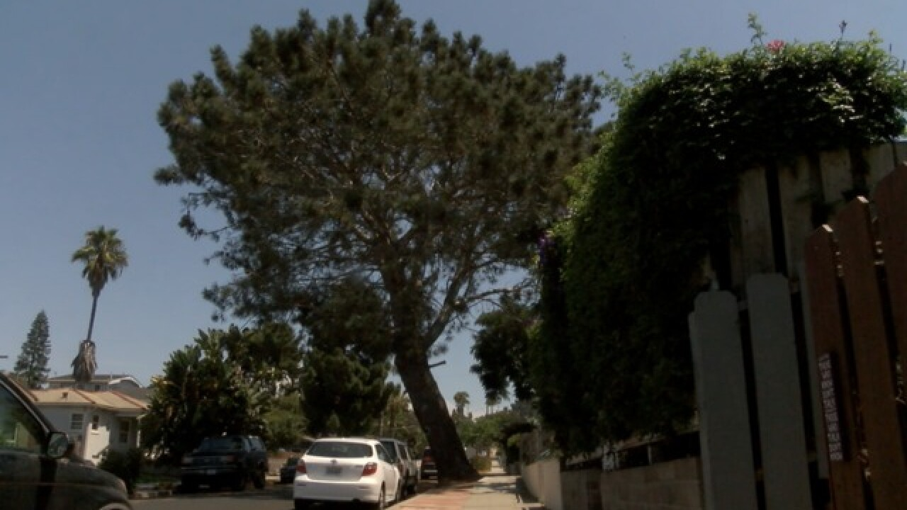 Years later, 'saved' torrey pine may come down