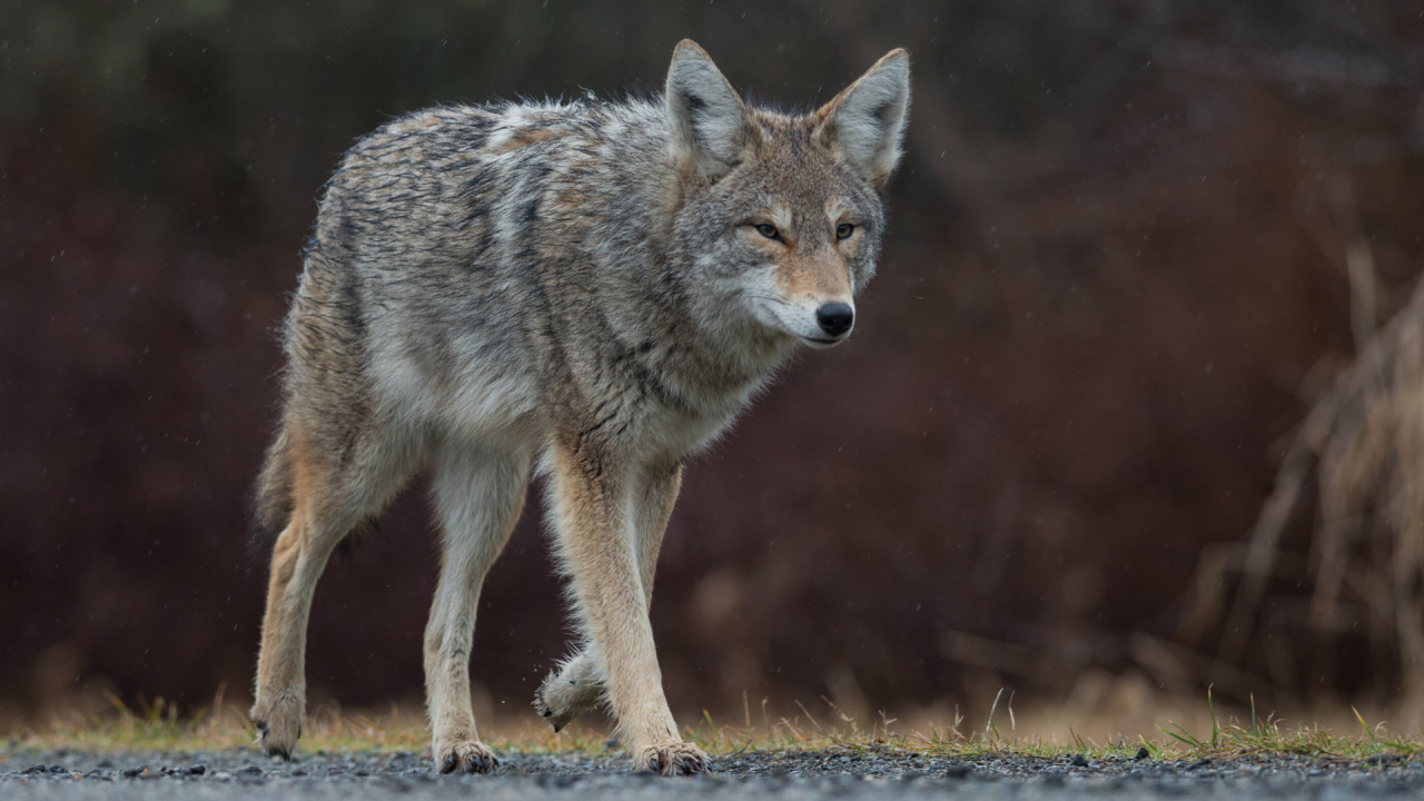 Stock photo of a coyote
