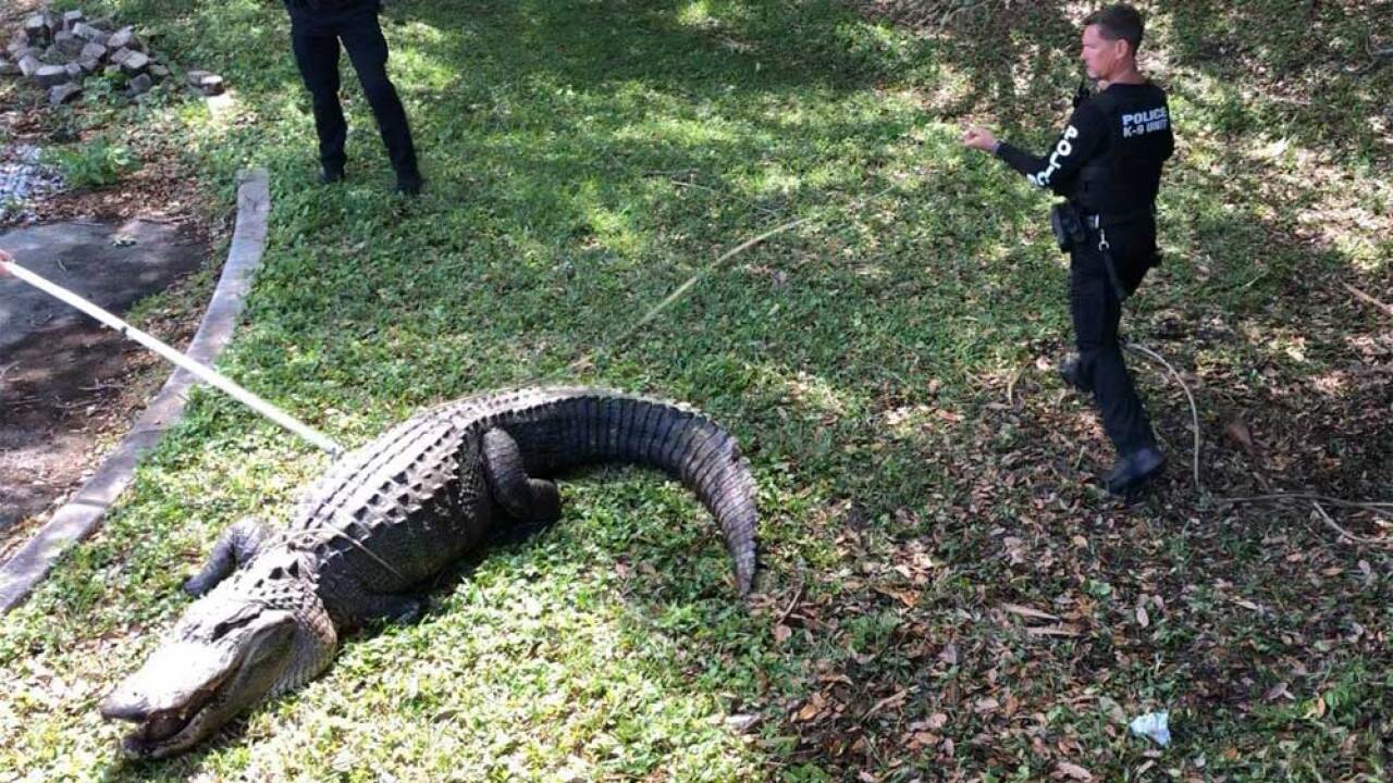 An alligator that was almost 12 feet long, weighing 750 pounds and believed to be more than 100 years old was removed from Jupiter's Commerce Park on March 28, 2019.