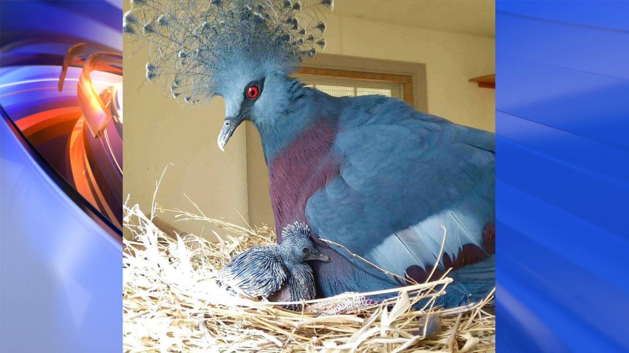 New baby Victoria crowned pigeon at Virginia Zoo